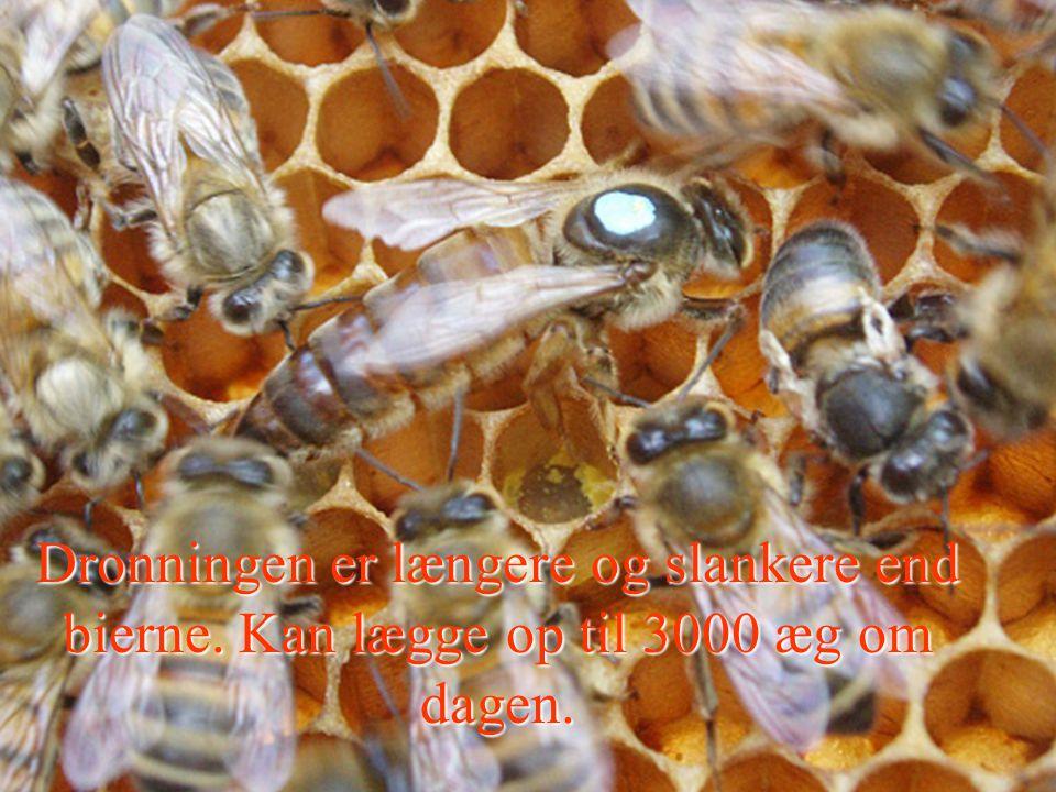 Dronning Dronningen er længere og slankere end bierne. Kan lægge op til 3000 æg om dagen.