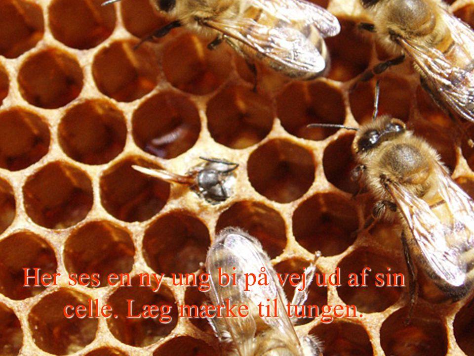 Her ses en ny ung bi på vej ud af sin celle. Læg mærke til tungen.