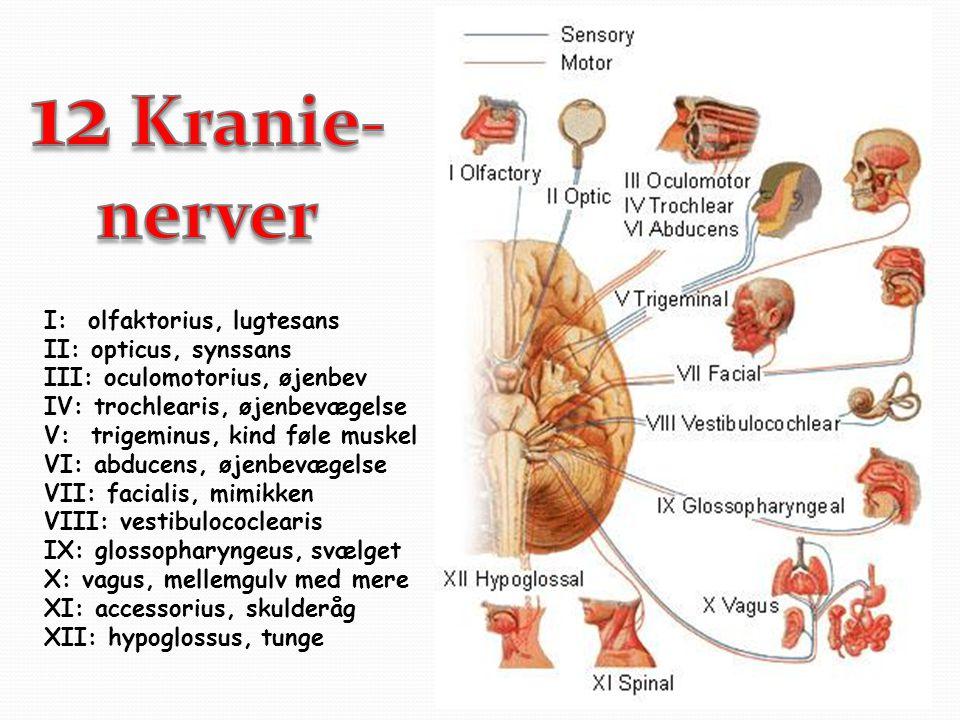 12 Kranie- nerver I: olfaktorius, lugtesans II: opticus, synssans