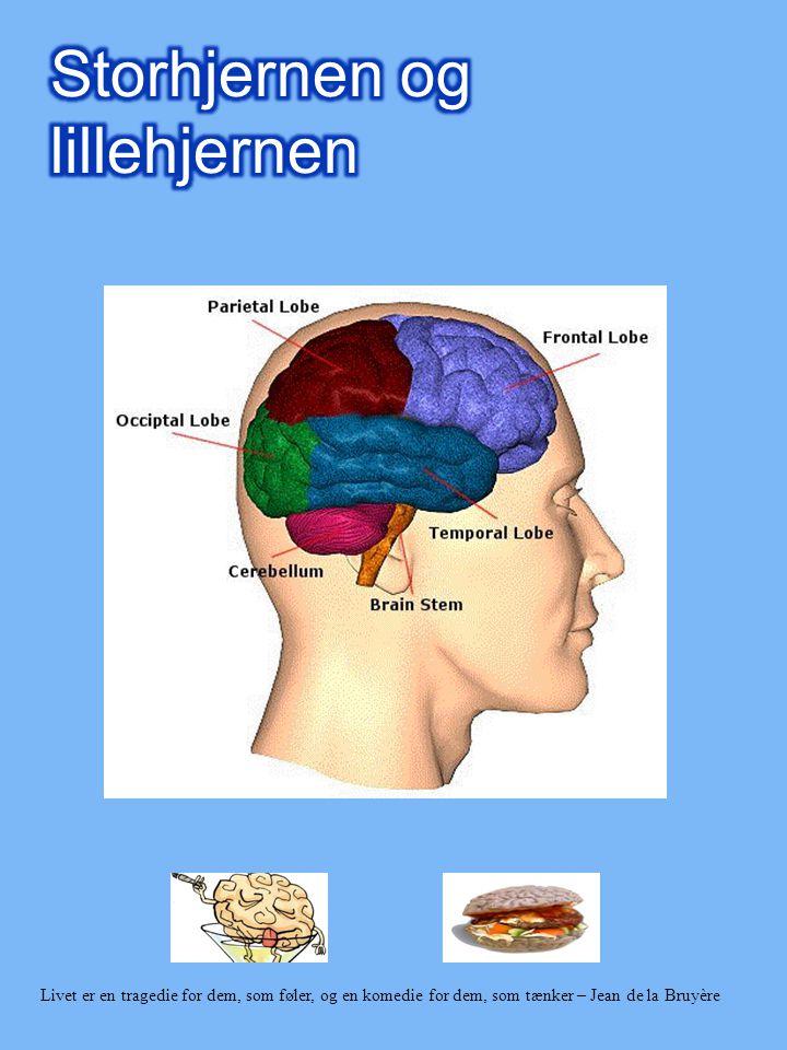 Storhjernen og lillehjernen