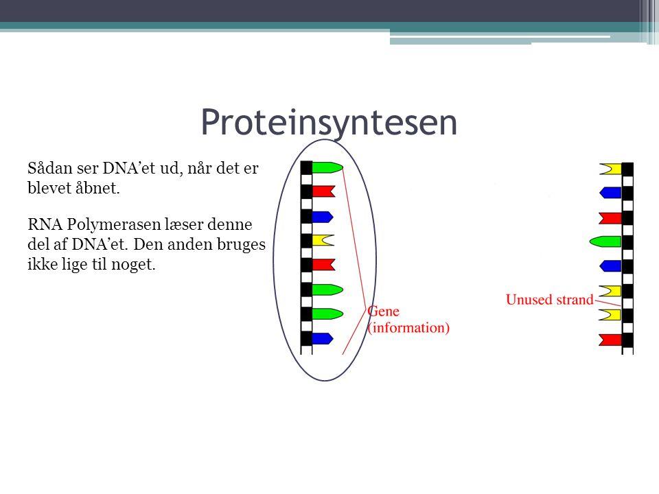 Proteinsyntesen Sådan ser DNA'et ud, når det er blevet åbnet.