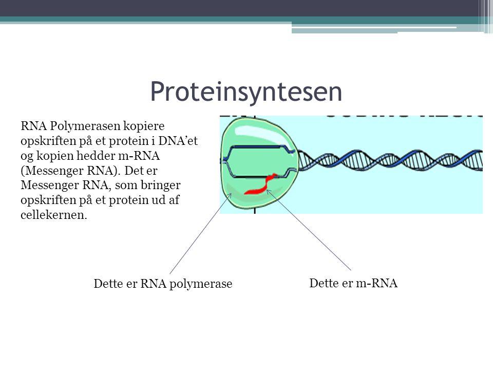 Proteinsyntesen