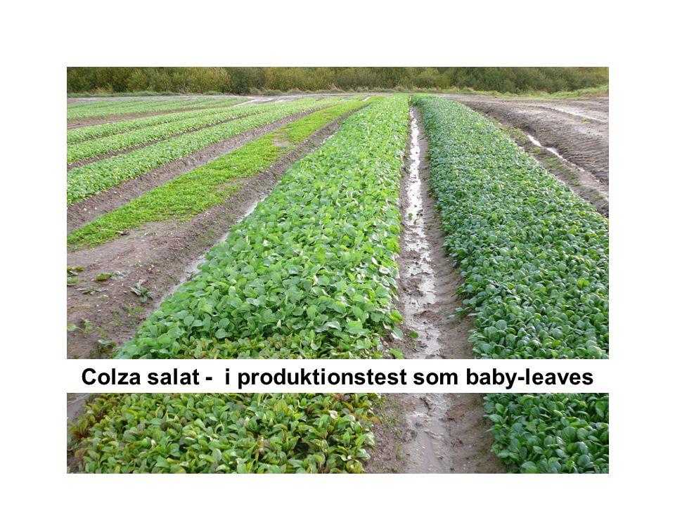Colza salat - i produktionstest som baby-leaves