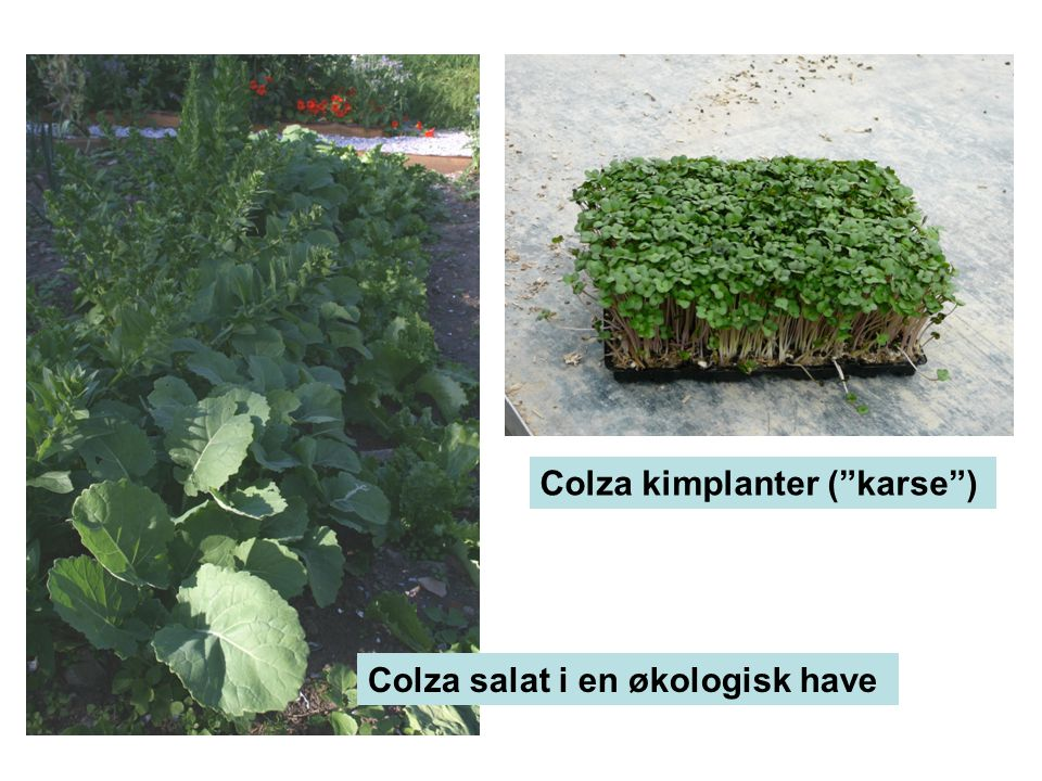 Colza kimplanter ( karse )