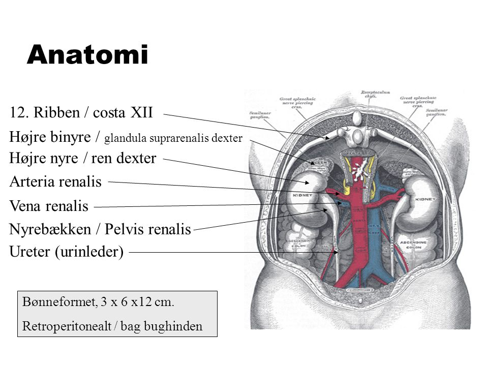 Anatomi 12. Ribben / costa XII