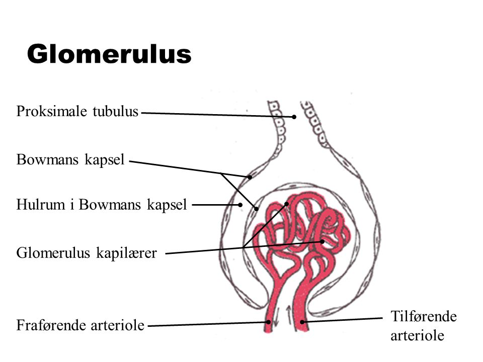Glomerulus Proksimale tubulus Bowmans kapsel Hulrum i Bowmans kapsel