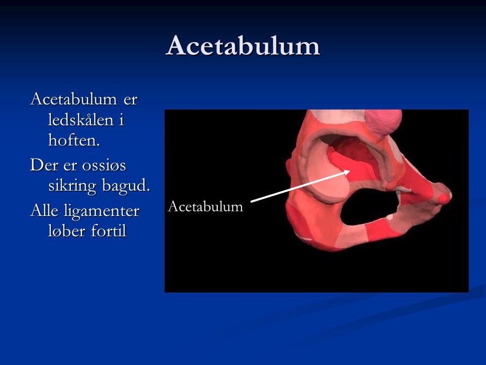 Acetabulum Acetabulum er ledskålen i hoften.