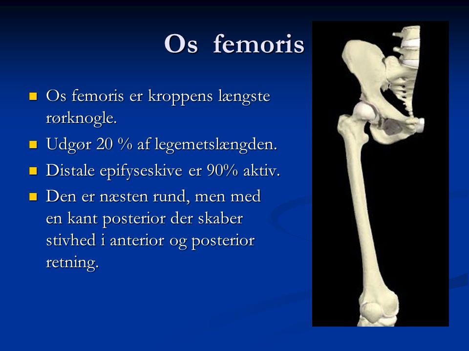 Os femoris Os femoris er kroppens længste rørknogle.