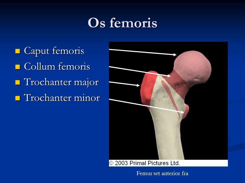 Os femoris Caput femoris Collum femoris Trochanter major