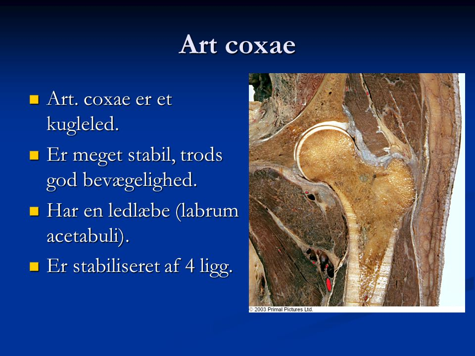 Art coxae Art. coxae er et kugleled.