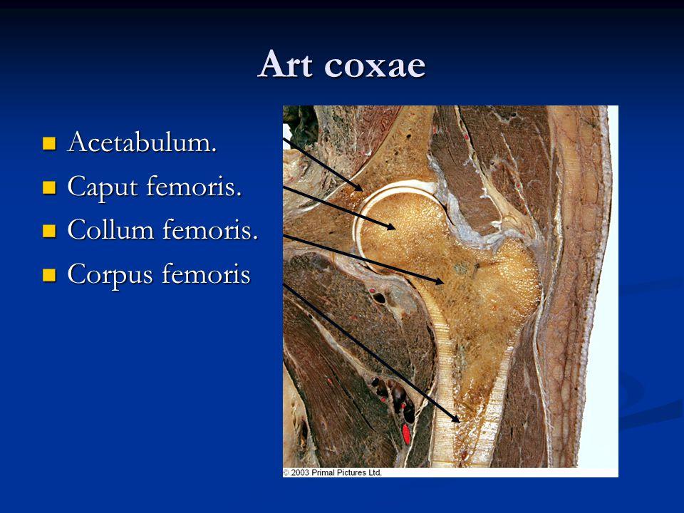Art coxae Acetabulum. Caput femoris. Collum femoris. Corpus femoris