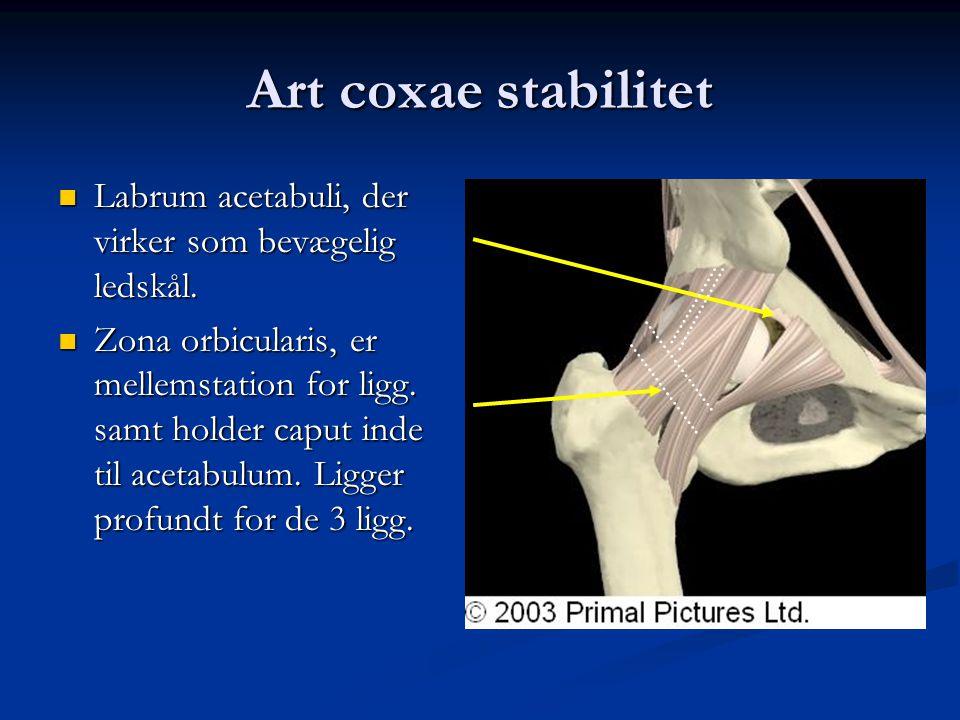 Art coxae stabilitet Labrum acetabuli, der virker som bevægelig ledskål.