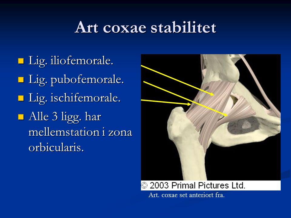 Art coxae stabilitet Lig. iliofemorale. Lig. pubofemorale.