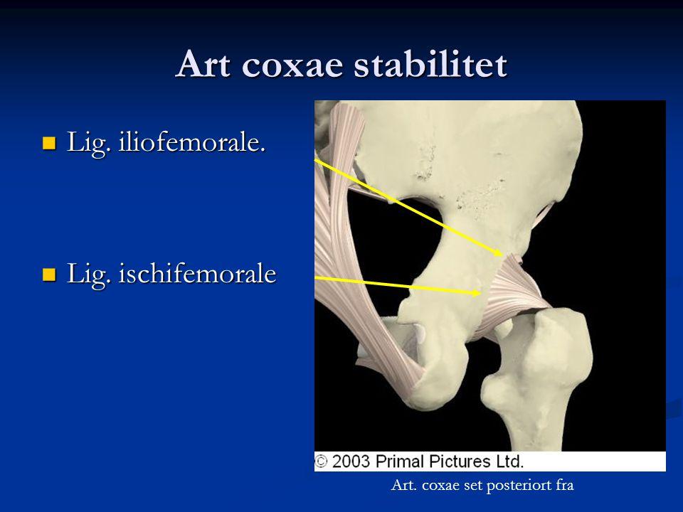 Art coxae stabilitet Lig. iliofemorale. Lig. ischifemorale