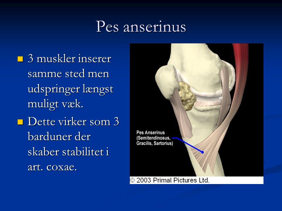 Pes anserinus 3 muskler inserer samme sted men udspringer længst muligt væk.