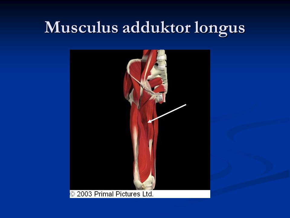 Musculus adduktor longus
