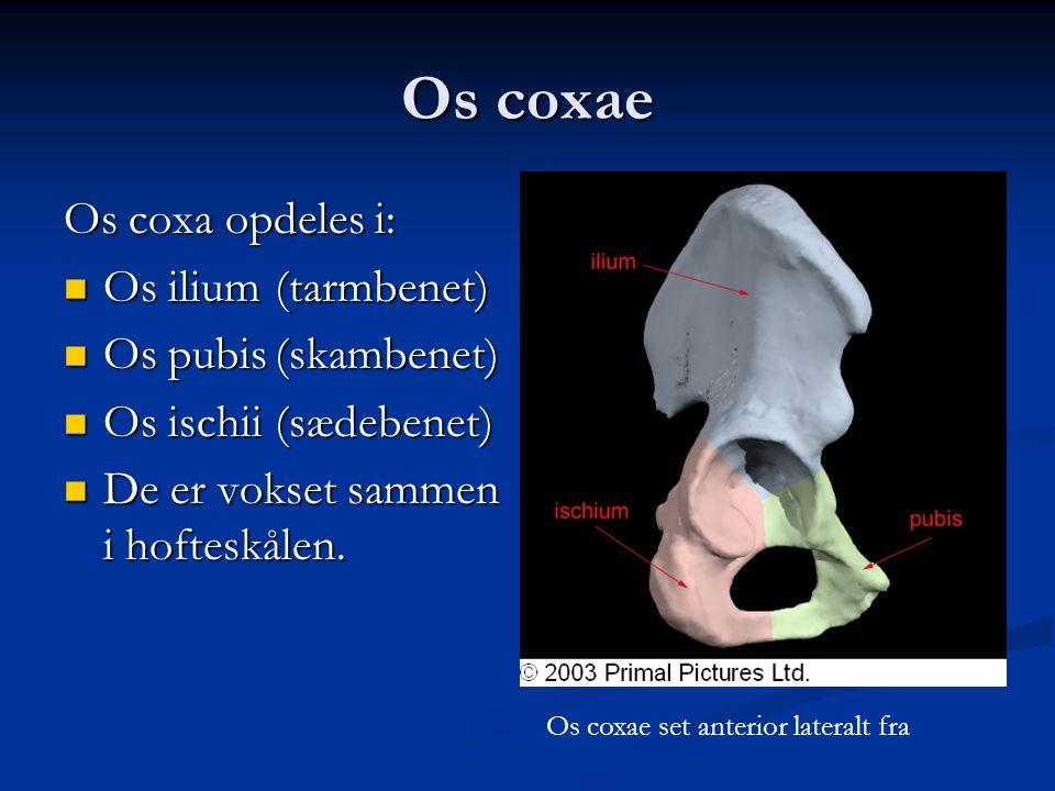 Os coxae Os coxa opdeles i: Os ilium (tarmbenet) Os pubis (skambenet)
