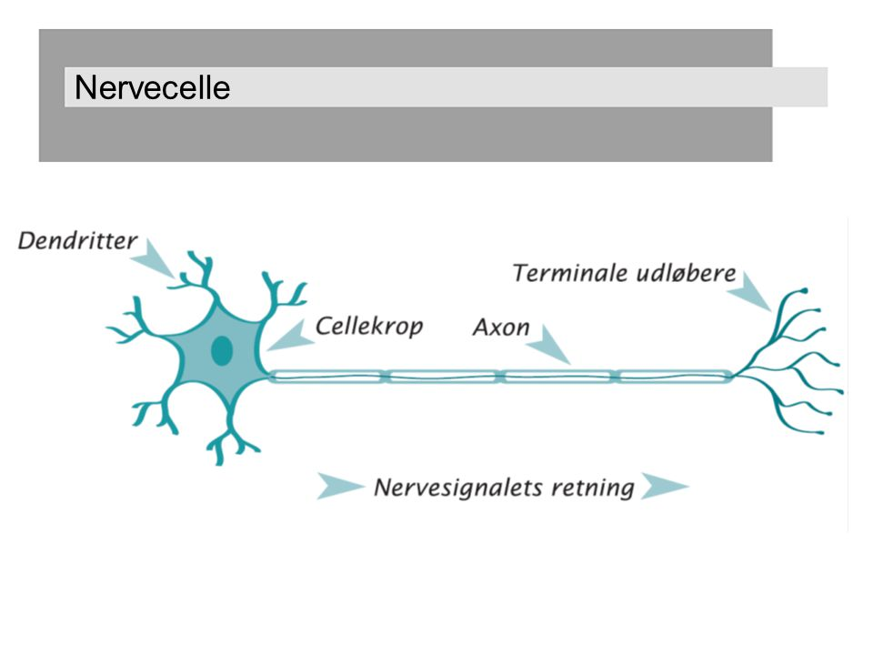 Nervecelle Basis viden om nerveceller, som er nødvendig for at I forstår, hvad afhængighed er – mer-viden ift hvad kunderne skal have at vide.