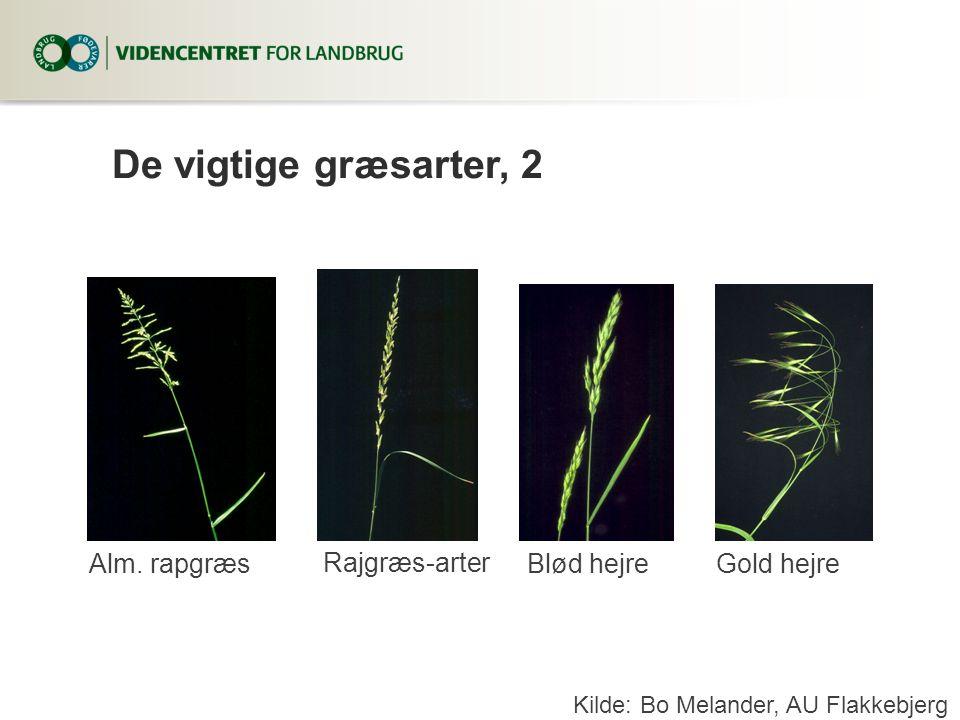 De vigtige græsarter, 2 Alm. rapgræs Rajgræs-arter Blød hejre