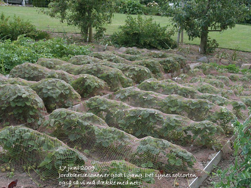 17 juni 2009 . Jordbærsæsonen er godt i gang. Det synes solsorten også så vi må dække med net.