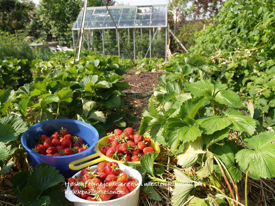 Høst af egne jordbær er vel næsten klimaks på