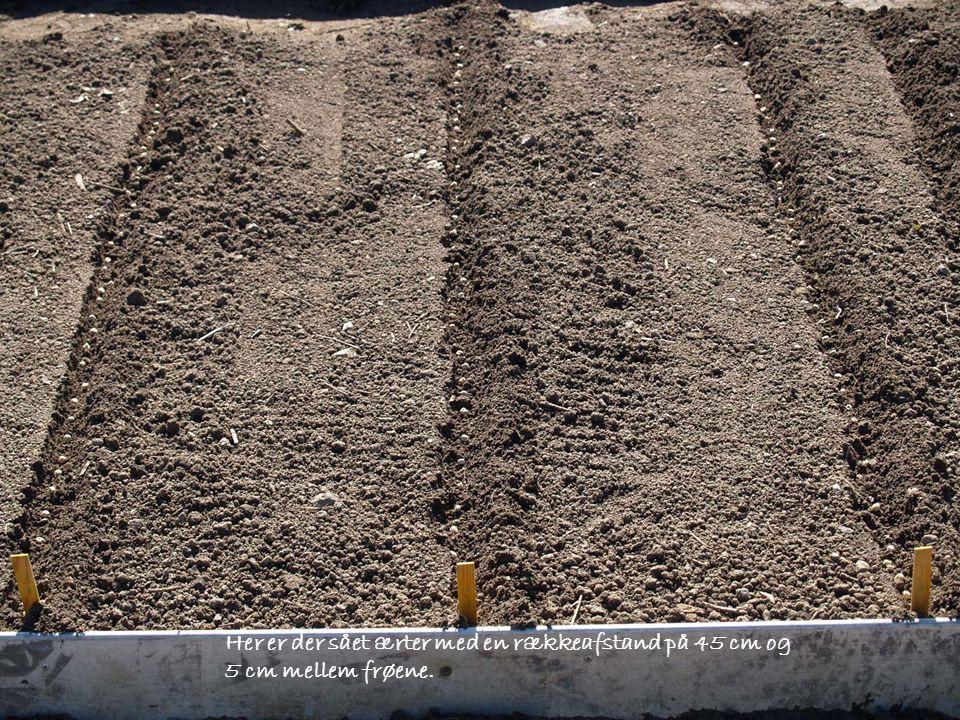 Her er der sået ærter med en rækkeafstand på 45 cm og