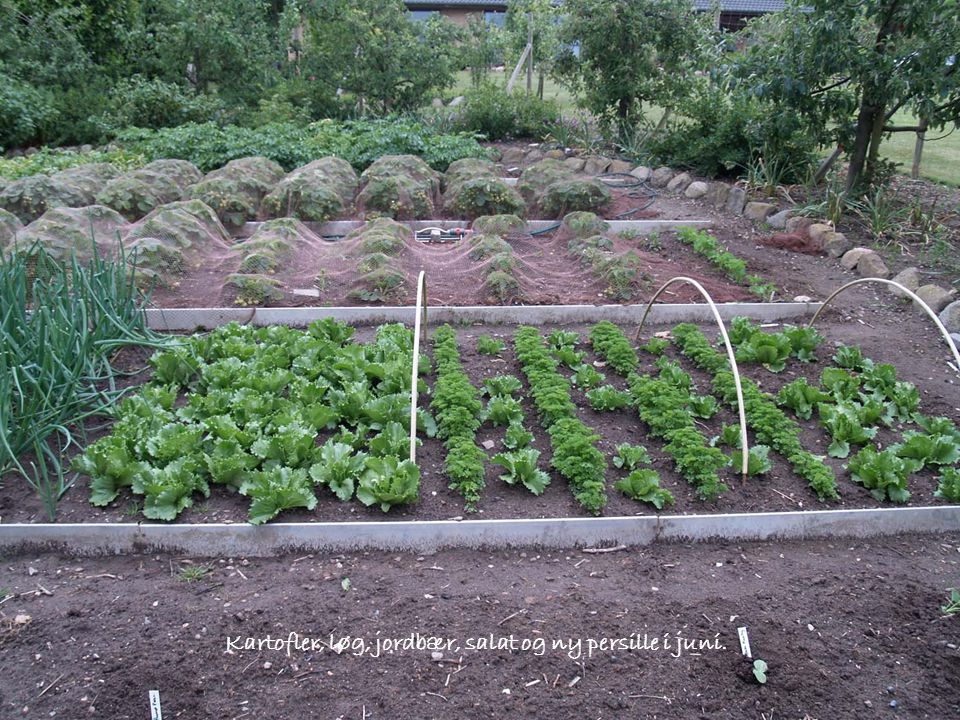 Kartofler, løg, jordbær, salat og ny persille i juni.