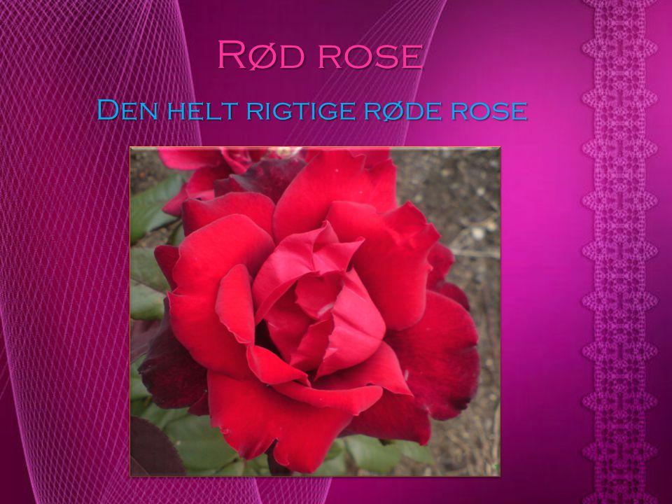 Den helt rigtige røde rose