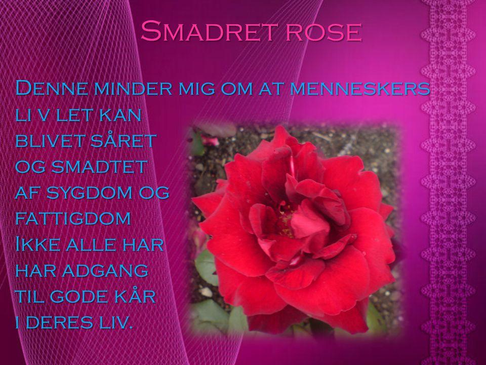 Smadret rose Denne minder mig om at menneskers li v let kan
