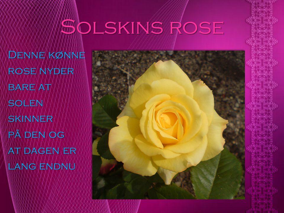 Solskins rose Denne kønne rose nyder bare at solen skinner på den og at dagen er lang endnu
