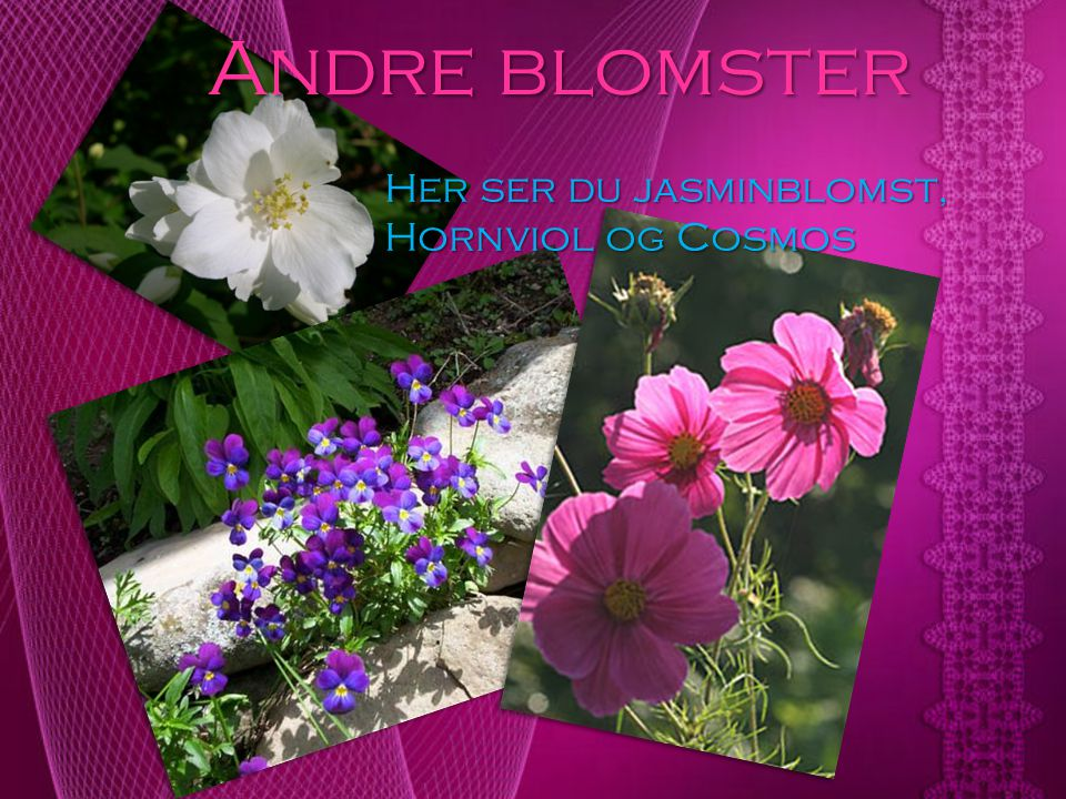 Andre blomster Her ser du jasminblomst, Hornviol og Cosmos