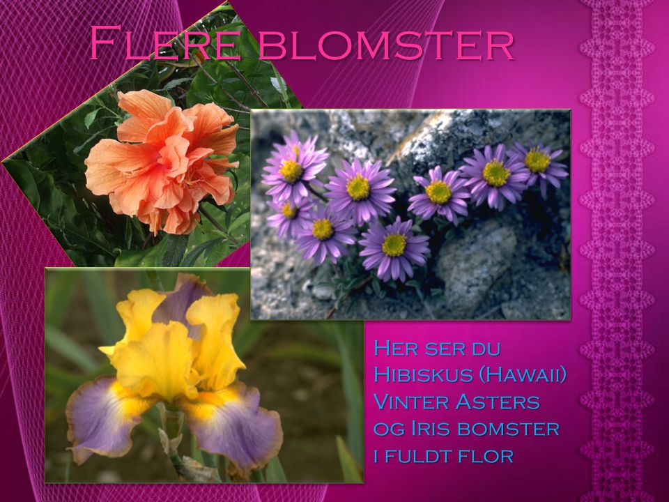 Flere blomster Her ser du Hibiskus (Hawaii) Vinter Asters