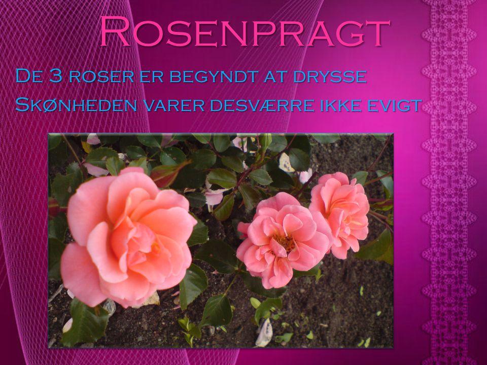 Rosenpragt De 3 roser er begyndt at drysse Skønheden varer desværre ikke evigt