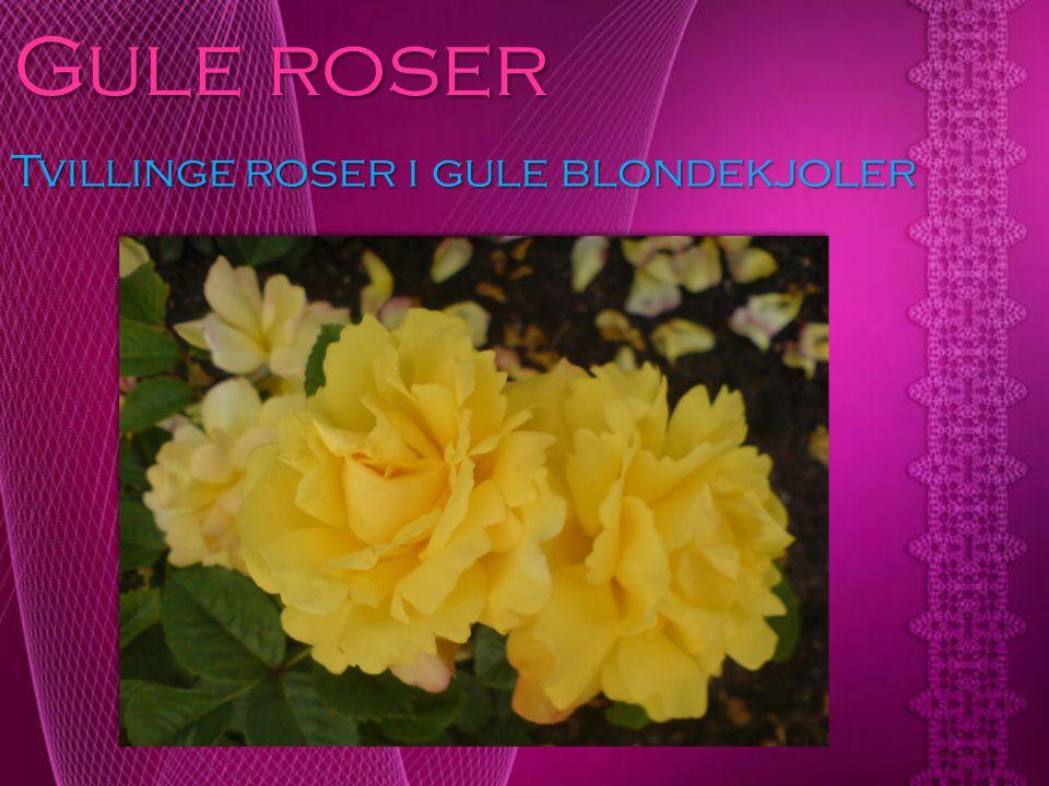 Gule roser Tvillinge roser i gule blondekjoler