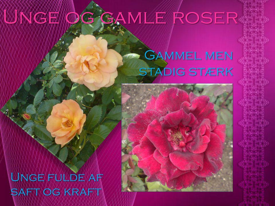 Unge og gamle roser Gammel men stadig stærk