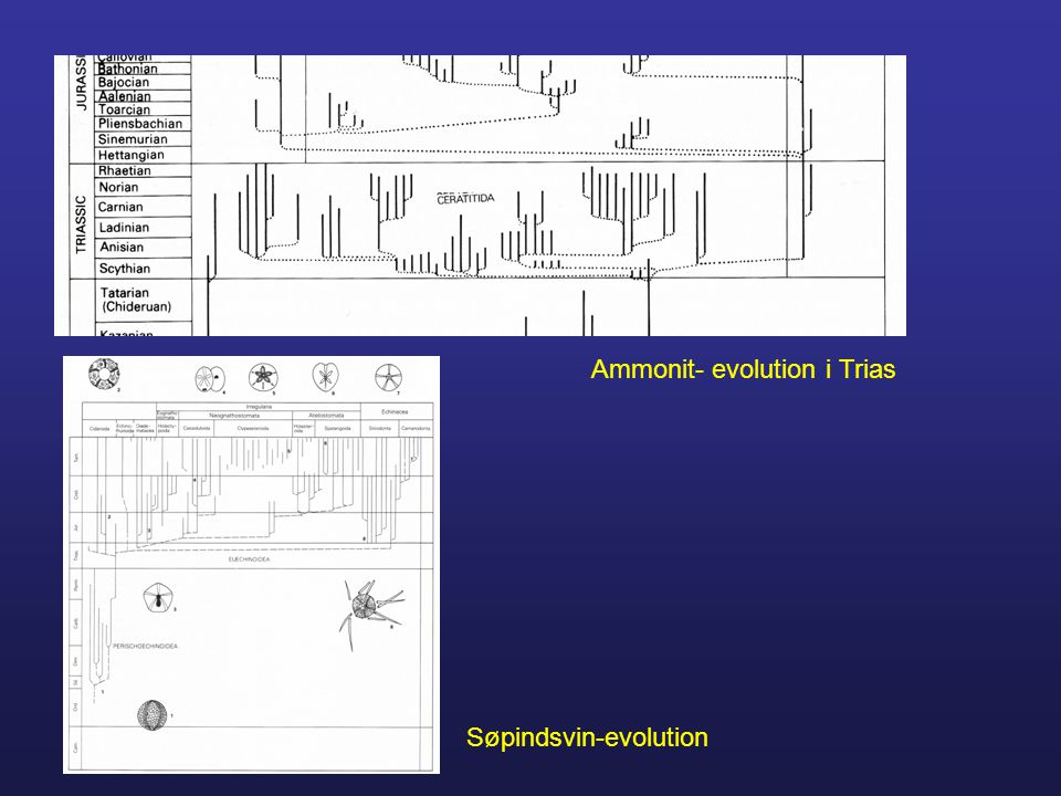 Ammonit- evolution i Trias