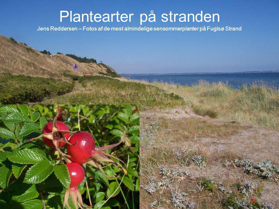 Plantearter på stranden Jens Reddersen – Fotos af de mest almindelige sensommerplanter på Fuglsø Strand