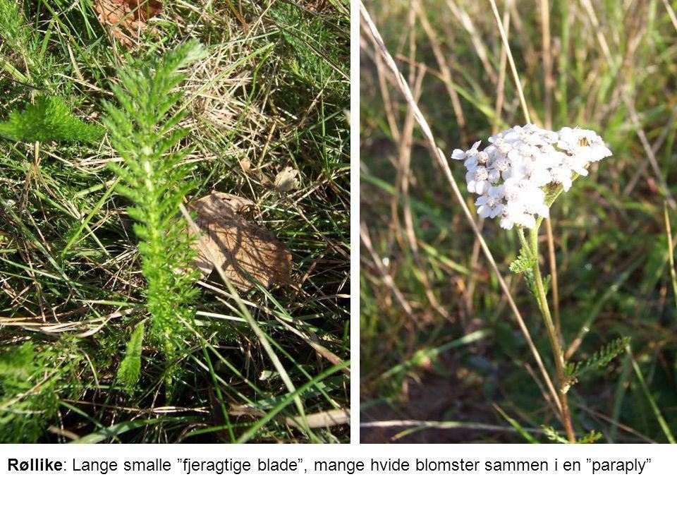 Røllike: Lange smalle fjeragtige blade , mange hvide blomster sammen i en paraply
