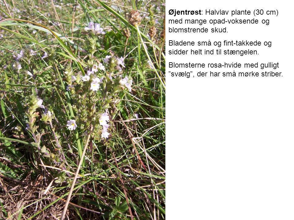 Øjentrøst: Halvlav plante (30 cm) med mange opad-voksende og blomstrende skud.