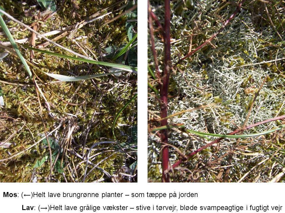 Mos: (←)Helt lave brungrønne planter – som tæppe på jorden