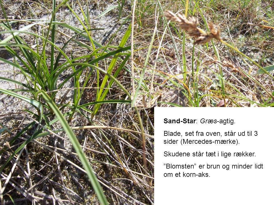 Sand-Star: Græs-agtig.