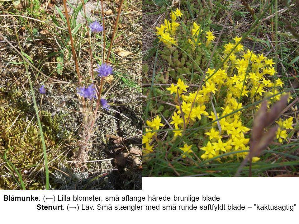 Blåmunke: (←) Lilla blomster, små aflange hårede brunlige blade