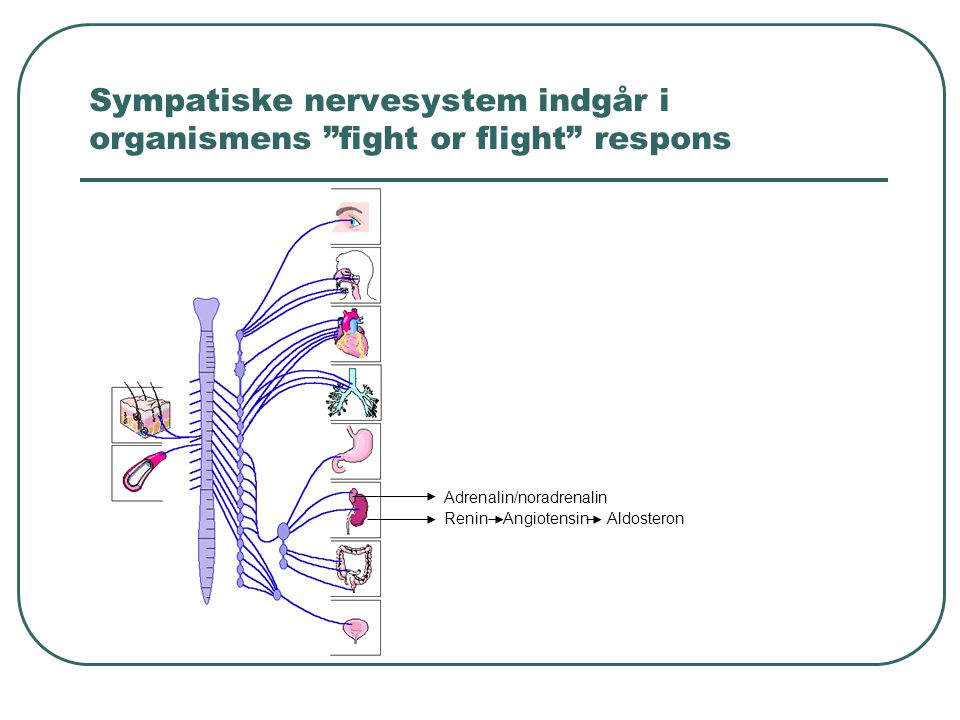 Sympatiske nervesystem indgår i organismens fight or flight respons