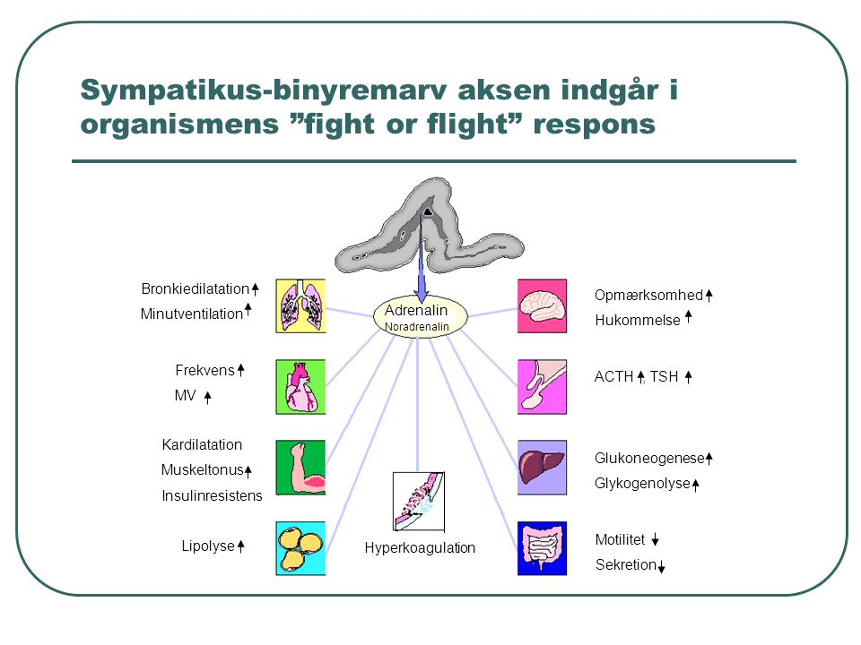 Sympatikus-binyremarv aksen indgår i organismens fight or flight respons