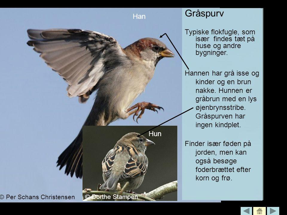 Gråspurv Typiske flokfugle, som især findes tæt på huse og andre bygninger.