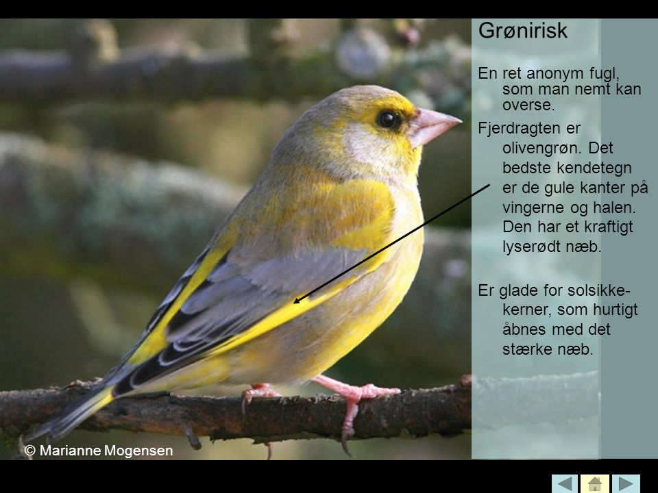 Grønirisk En ret anonym fugl, som man nemt kan overse.