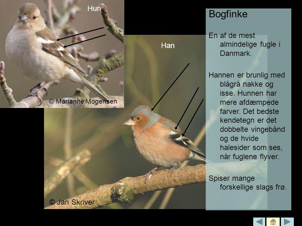 Bogfinke Han Hun En af de mest almindelige fugle i Danmark.