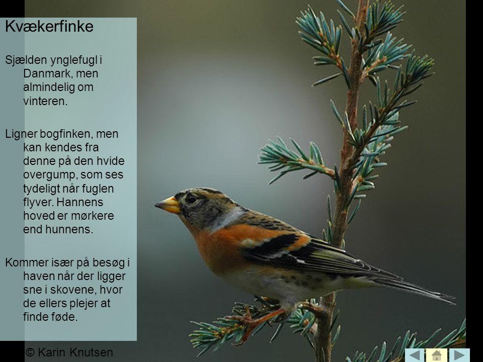 Kvækerfinke © Karin Knutsen
