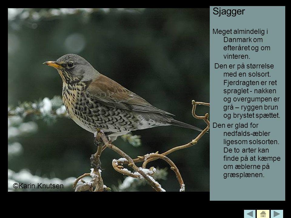 Sjagger ©Karin Knutsen