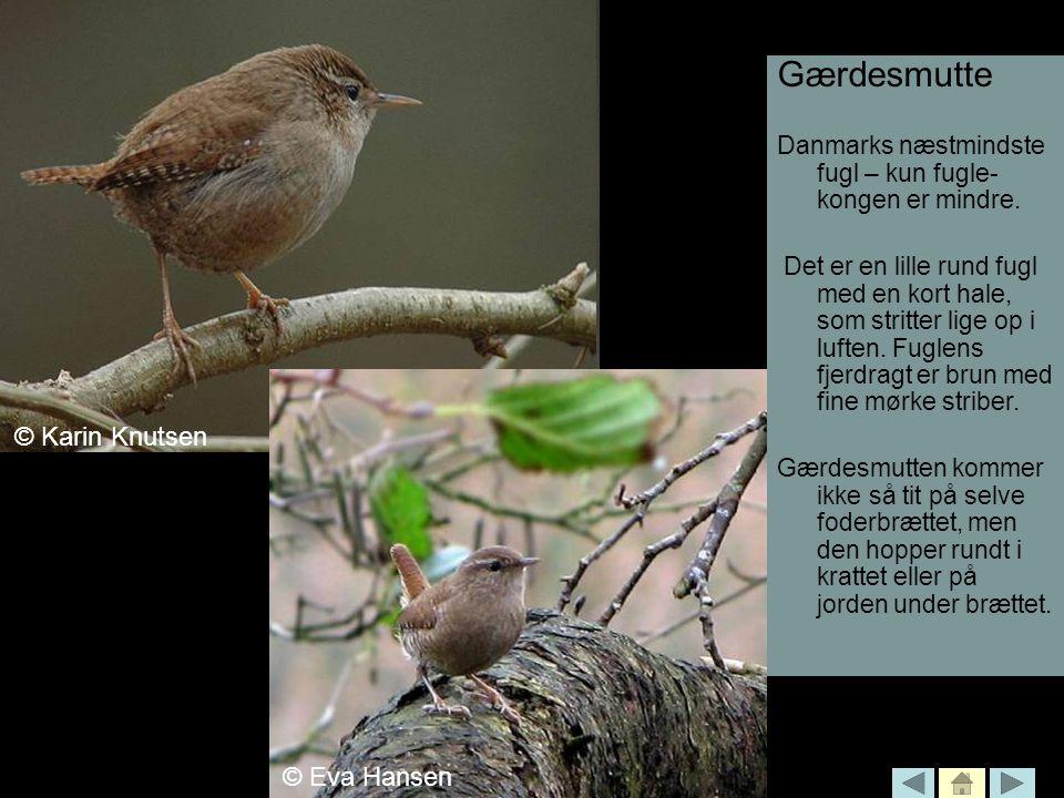 Gærdesmutte © Karin Knutsen © Karin Knutsen Karin Knutsen © Eva Hansen